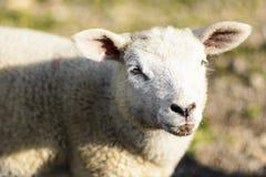 Domestizierte Schafe auf Weide bei dem Sonnenuntergang Stockfotos