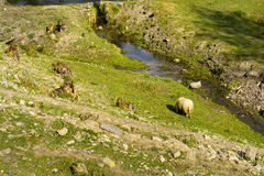 Domestizierte Schafe auf Weide bei dem Sonnenuntergang Lizenzfreies Stockbild