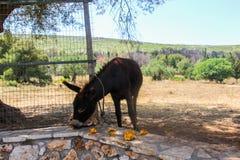 Domestizierter Esel, der orange Früchte isst stockfotos