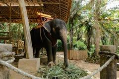 Domestizierter und gebundener grauer Elefant, der mit Sattel steht stockbilder