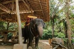 Domestizierter und gebundener trauriger Elefant, der mit Sattel steht stockfoto
