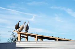 Domestiziertes behelmtes guineafowl (Numida Meleagris) auf Dach Stockfotos