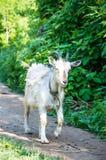 Domestiziertes Tier auf einem Fußweg Stockbilder