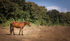 A domestic Horse. Standing in the sun Stock Photos