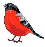 Domherre fågel Arkivfoton
