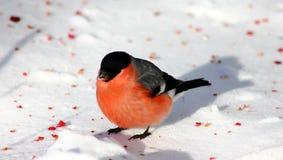 Domherre på snön Fotografering för Bildbyråer