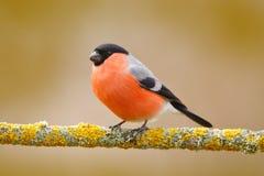 Domherre röd fågel Arkivbild