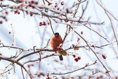 Domherren sitter på ett snöträd siberia Royaltyfria Bilder