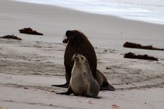 A dominant adult male Australian Sea Lion in Seal Bay ,South Australia. A dominant male Sea Lion and a female on the White sand in kangaroo Island Stock Photography