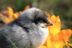 Dominant Blue Chick. Little Dominant Blue Chick portrait royalty free stock image