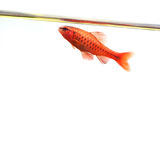 Dominant cherry barb male fish. Tropical freshwater aquarium water surface on white background. Puntius titteya Royalty Free Stock Image