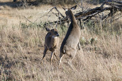 Dominant Doe fighting with spike buck Royalty Free Stock Photo