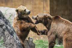 Dominant grizzly bears. Two young adult grizzly bears playing aggressively establishing dominance stock photos