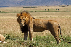Dominant lion male with large mane, Kenya Royalty Free Stock Photos