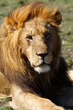 Dominant lion male with large mane, Kenya Stock Photos