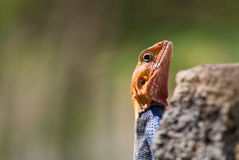 Dominant male Agama Royalty Free Stock Photo