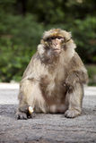 Dominant male Barbary Ape, Macaca Sylvanus, Atlas Mountains, Morocco Royalty Free Stock Image