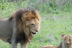 Dominant male lion Royalty Free Stock Photo