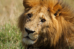 Dominant male lion with large mane, Masai Mare Royalty Free Stock Image