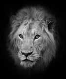 Dominant Male Lion in South Africa Stock Image