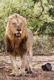 Male lion in Kruger NP - South Africa royalty free stock photo