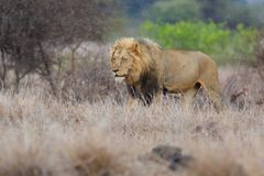 Male lion in Kruger NP - South Africa royalty free stock photography