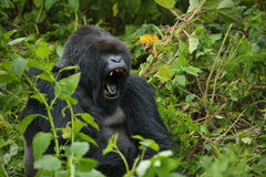 Dominant Male Mountain Gorilla Stock Photo