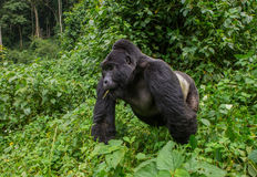 Dominant male mountain gorilla in the grass. Uganda. Bwindi Impenetrable Forest National Park. An excellent illustration stock image