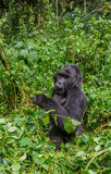 Dominant male mountain gorilla in the grass. Uganda. Bwindi Impenetrable Forest National Park. Royalty Free Stock Images