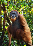 Dominant male orangutan. In the jungle of  Gunung Leuser National Park, Sumatra Royalty Free Stock Photography