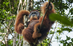 Dominant male orangutan stock photo