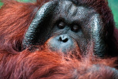 Dominant male orangutan with the signature cheek pads. That develope in response to a testosterone surge royalty free stock photo