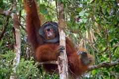 Dominant male orangutan yawns. Indonesia. The island of Kalimantan (Borneo). Royalty Free Stock Photography