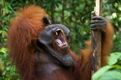 Dominant male orangutan yawns. Indonesia. The island of Kalimantan (Borneo). Stock Images