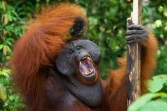 Dominant male orangutan yawns. Indonesia. The island of Kalimantan (Borneo). Royalty Free Stock Photos