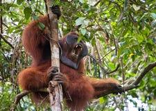 Dominant male orangutan yawns. Indonesia. The island of Kalimantan (Borneo). Royalty Free Stock Image