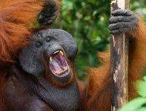 Dominant male orangutan yawns. Indonesia. The island of Kalimantan (Borneo). Royalty Free Stock Images