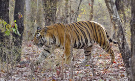 Dominant Male of Royal Bengal Tiger. A dominant Royal Bengal Tiger Male in India's Bandhavgarh National Park Royalty Free Stock Images