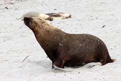 A adult male sea lion with yellowish mane in Seal Bay ,South Australia. A dominant male Sea Lion walking on the White sand in kangaroo Island Stock Photography