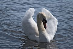 Dominant male swan. Dominant male swan showing who`s the boss, the swan`s wings are arched high and the long neck is drawn back royalty free stock images