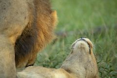 A male lion courting a young female lion. The dominant pride male lion courting one of the younger females. She was not all together happy about the interaction royalty free stock photo
