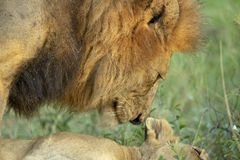 A male lion courting a young female lion royalty free stock image