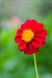 Dominant red Dahlia Stock Photography