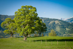 Dominant tree on an Alpine meadow Stock Photo