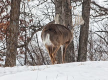 Dominant whitetail buck behavior Stock Images