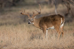 The dominant whitetail buck Royalty Free Stock Photos