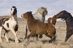 Dominant Wild Mustangs Fighting Stock Photos