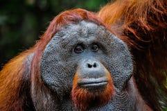 Dominante mannelijke orangoetan Bornean stock foto