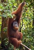 Dominante mannelijke orangoetan in de wildernissen van noordelijke Sumatra stock afbeelding