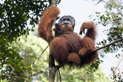 Dominante mannelijke orangoetanzitting op een boom in de wildernissen van Suma royalty-vrije stock fotografie